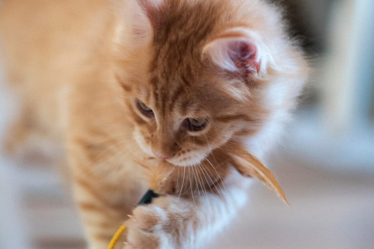 Tips from pet parents on what you need to know to buy or adopt a new kitten, including breeds, timing and essential toys and supplies