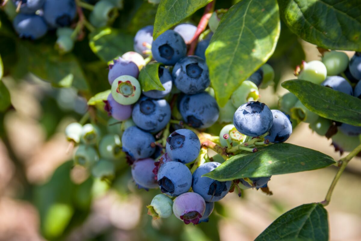 the 12 best places for a berry picking adventure this summer season
